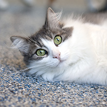 Grey and White Cat with green eyes laying on its side