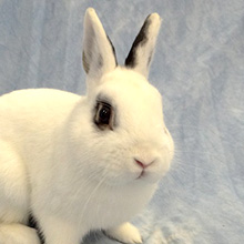White bunny with black patterns on ears and around eyes