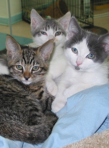 3 kittens (tabby and 2 grey and white) laying on a blue pet bed together