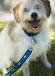 Furry Terrier Dog Sitting on grass with blue spcaLA leash and collar