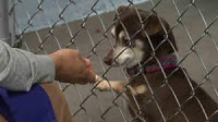 Chihuahua behind kennel fencing reaching through to touch person's hand on other side