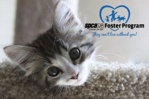 spcaLA Foster program logo in photo of tabby kitten hanging head over cat tree ledge
