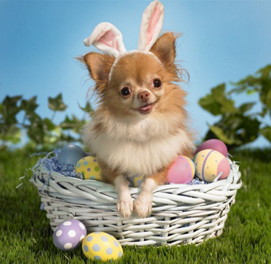 Tan Chihuahua dog wearing bunny ears sitting in easter basket with easter eggs