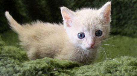 Tan kitten with blue eyes walking on green blanket
