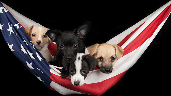 4 Puppies sitting in hammock made out of the US Flag