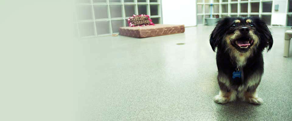 Small black and brown dog standing in play area of spcaLA's pet hotel with pet bed behind it. Photo fades to white on left side.