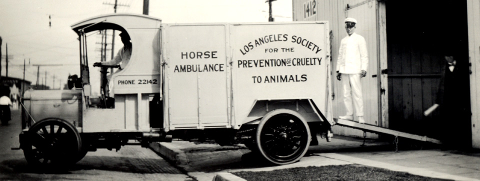 Black and white photo of vintage Los Angeles Society for the Prevention of Cruelty to Animals horse ambulance with driver and operator standing on ramp leading up the back of the vehicle