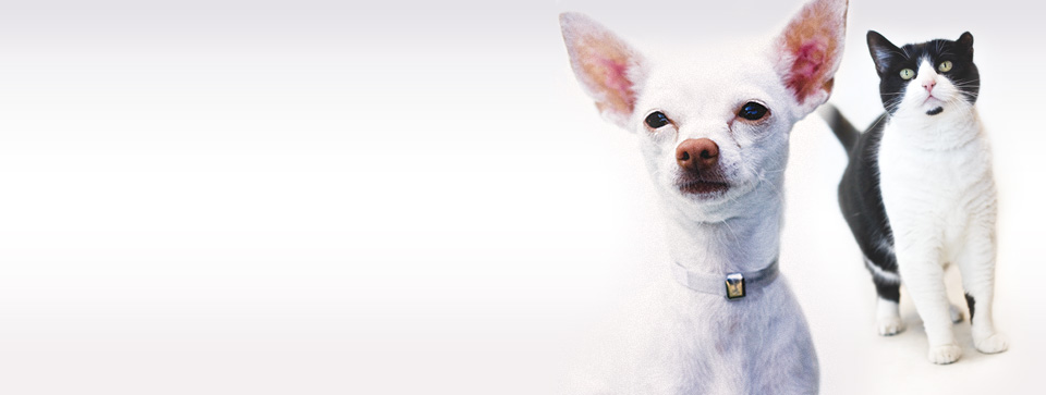 White chihuahua with big ears in front of black and white cat on white background
