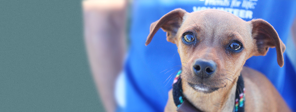 Brown Chihuahua mix dog's face close up with volunteer wearing blue apron in background