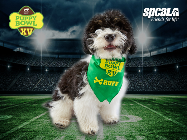 Black and white terrier puppy wearing a green Puppy Bowl bandanna standing on a football field.