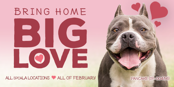 Black and white pit bull against a pink background. Promotion for Big Love adoption event at all spcaLA locations.