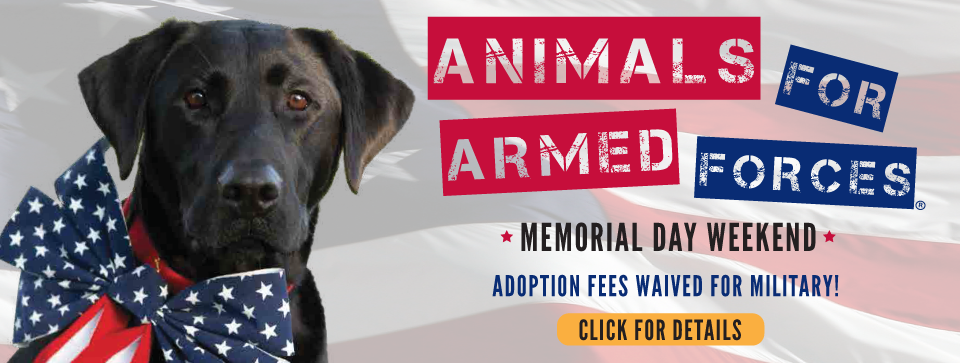 Black lab with flag patterned bow tied around its neck. Text: Honoring & thanking our dedicated service men & women. Animals for armed forces. Memorial Day weekend. Adoption fees waived for military! Yellow click for details button