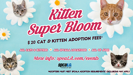 Kitten Super Bloom $20 cat and kitten adoption fees. All cats and kittens. All spcaLA locations. All of June. More info: spcaLA.com/events. spcaLA logo and Long Beach Animal Care Services logo. Blue background with white flowers that have kitten heads in the middle.