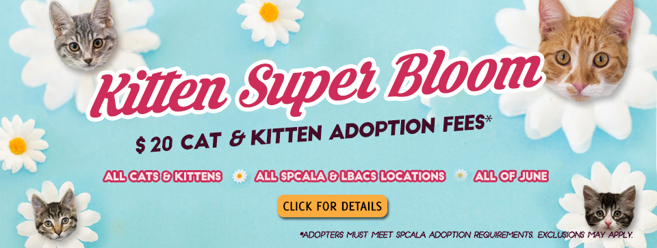 Kitten Super Bloom $20 cat and kitten adoption fees. All cats and kittens. All spcaLA locations. All of June. Click for details button. spcaLA logo and Long Beach Animal Care Services logo. Blue background with white flowers that have kitten heads in the middle.