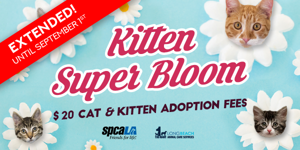 Extended until September 1st. Kitten Super Bloom $20 cat and kitten adoption fees. spcaLA logo and Long Beach Animal Care Services logo. Blue background with white flowers that have kitten heads in the middle.