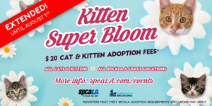 Kitten Super Bloom $20 cat and kitten adoption fees. spcaLA logo and Long Beach Animal Care Services logo. Blue background with white flowers that have kitten heads in the middle.