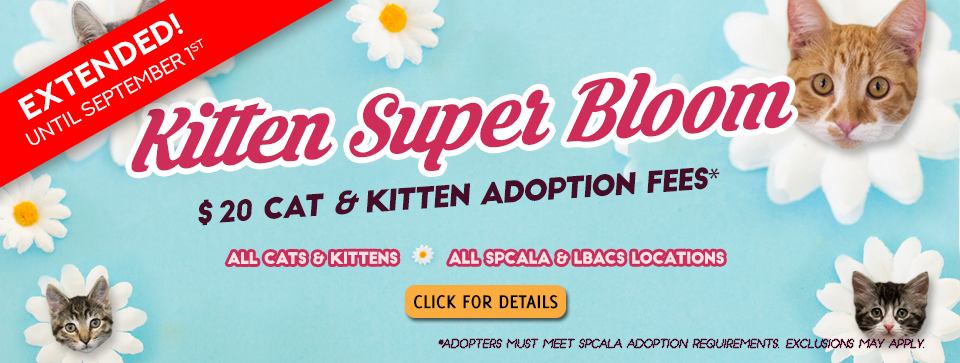 Extended until September 1st. Kitten Super Bloom $20 cat and kitten adoption fees. All cats & kittens. All spcaLA & LBACS locations. spcaLA logo and Long Beach Animal Care Services logo. Blue background with white flowers that have kitten heads in the middle.