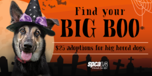 Find your Big Boo. $25 adoptions for big breed dogs. white spcaLA logo. German shepherd wearing black witch hat with purple bow.