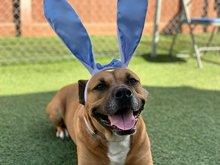 brown dog with white bunny ears